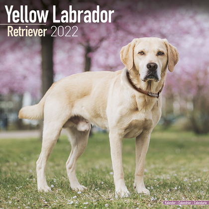 "Kalender 2018 ""Labrador Retr. (gelb)"""