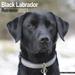 """Kalender 2021 """"Schwarzer Labrador Retriever"""""""