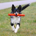 """Jippiieee!! Weekend!!! Wat ga jij doen? Akita (hond van onze medewerkster Ramona) rent nog een extra rondje met de """"Gnawt-a-Stick"""" van Ruffwear. Eindelijk veilig met een stok spelen."""